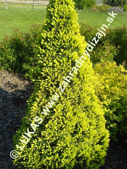 Picea glauca maygold - smrek